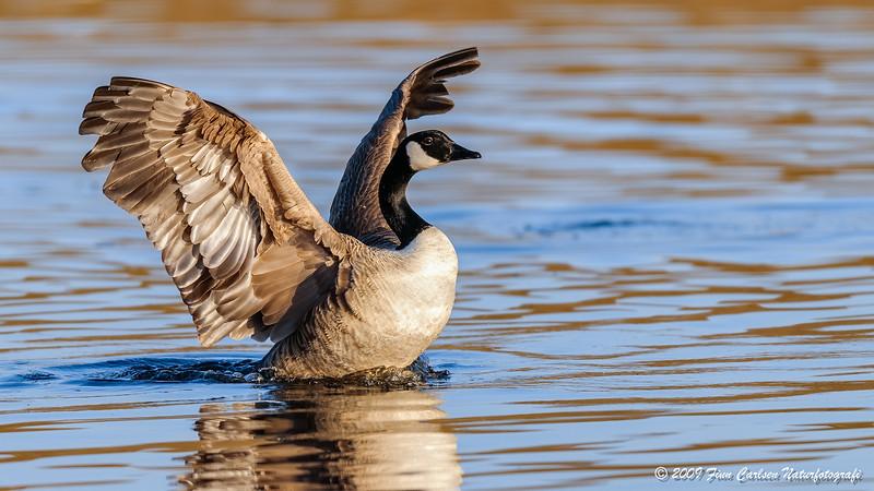 Canadagås - Branta canadensis - Canada Goose