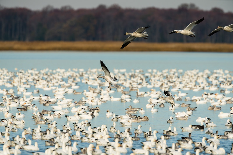Snow Geese Bombay Hook Fall 2019-24.jpg