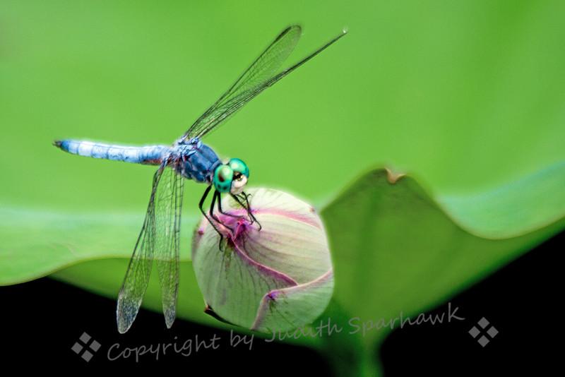 Blue Dasher on Lotus Bud