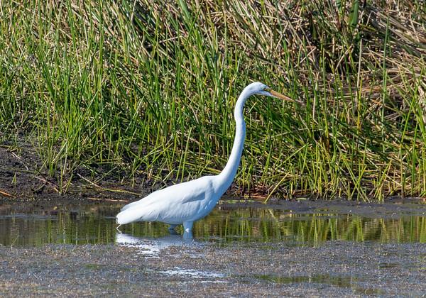 Snowy egret, Green Cay Wetlands
