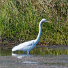 Snowy egret, Green Cay Wetlands