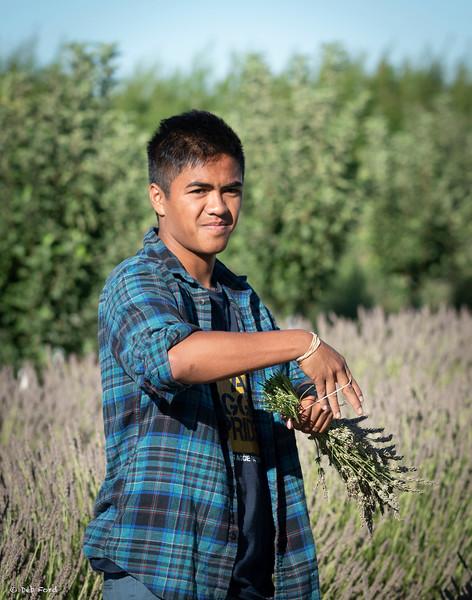 Lavender Harvest, July 2018