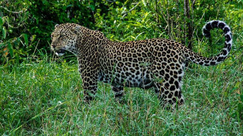 Leopards-0108.jpg