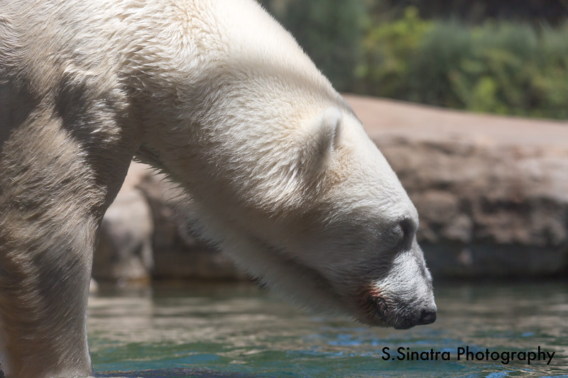 polar bear (32 of 50).jpg