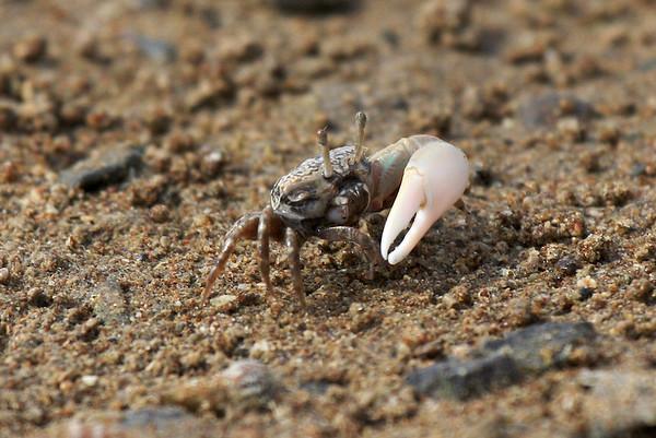 Fiddler Crab II
