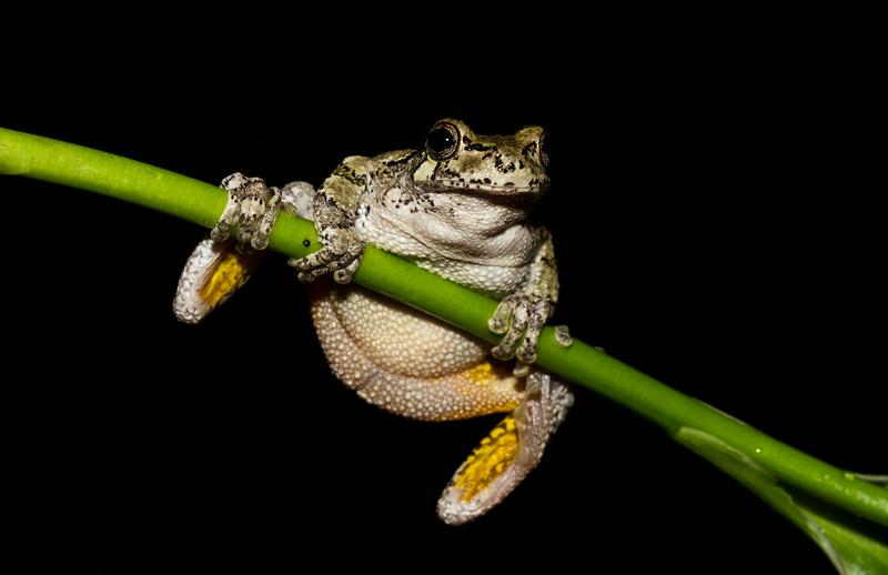 Gray Treefrog haning around (1 of 1).jpg