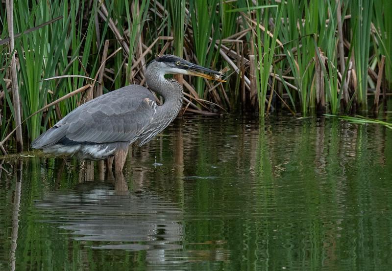 Great Blue Heron fishing 3