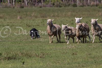 AKC Herding Trial at Linden Hollow 2014