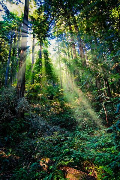 Muir Woods Majesty