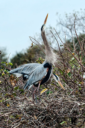 Mating Blue Herons