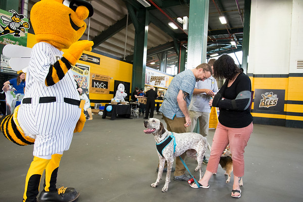 06/07/19 Wesley Bunnell | Staff The New Britain Bees held a Bark in the Park night on Friday where fans were able to bring their pet into the stadium for the game. Milo a coonhound boxer mix looks up at the New Britain mascot Sting as he stands with owners John & Kelly Morin and RJ the beagle.