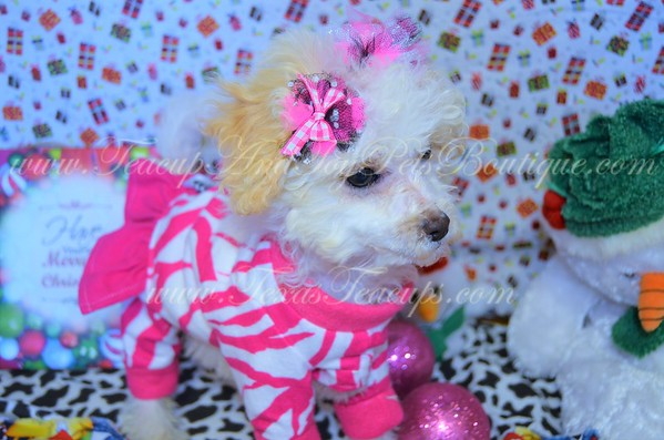 3166,Maltipoo,female,white