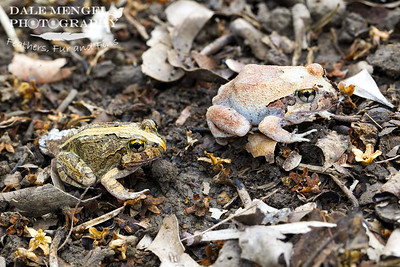 Ornate Burrowing Frog (Platyplectrum ornatus)