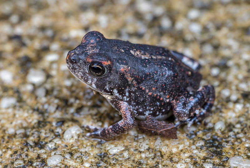 Young southern toad