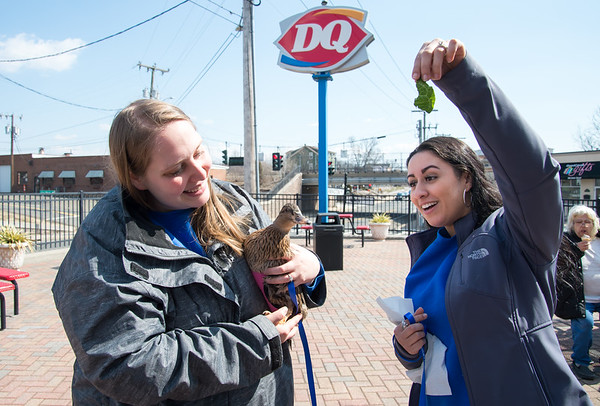 03/20/19 Wesley Bunnell | Staff Patrons to the Kensington Dairy Queen on Wednesday received a free small cone celebrating the first day of spring. Katie Pankhurst from the Kensington Bird and Animal Hospital holds Sandy the hospital's Resident Duckter as fellow employee Lori Brown dangles a piece of lettuce for Sandy.
