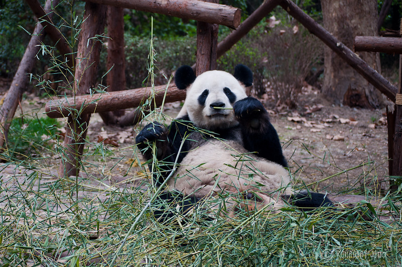 Giant_Panda_eating_Chengdu_Sichuan_China4.jpg