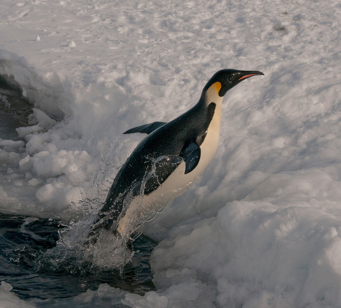 Penguin leaping out of a lead in the sea ice, Gould Bay, Antarctica