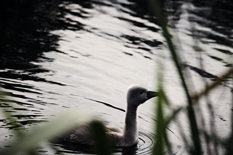 Swans_Of_Castletown041.jpg