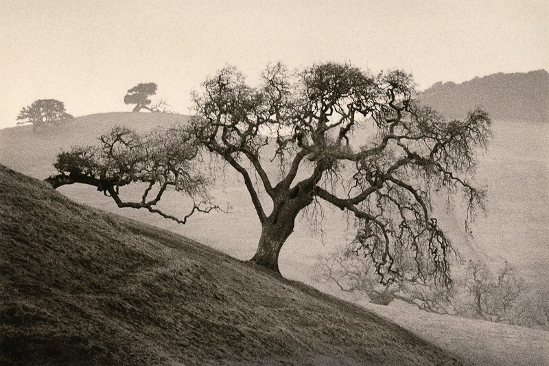 Sonoma Oak, Petaluma, California