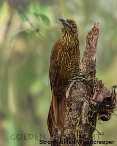 Strong-billed Woodcreeper, Ecuador