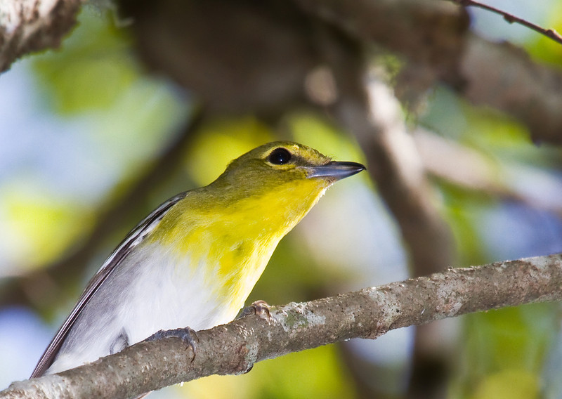 yellow throated vireo