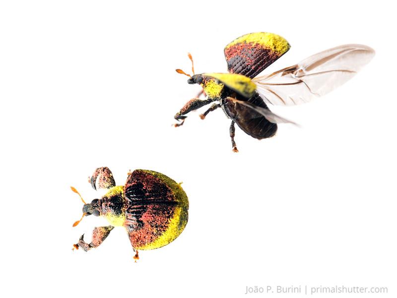Weevil (Camarotus sp.) Ilha do Cardoso, SP, Brazil Atlantic forest / Restinga August 2014