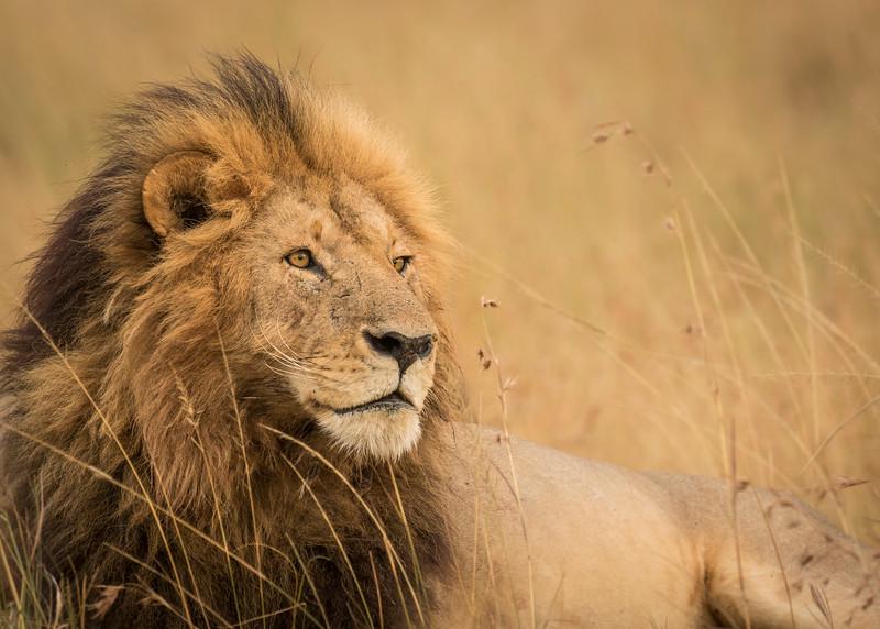 Resting Lion.jpg