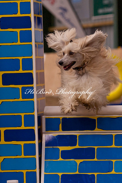 small dog agility 1140.jpg