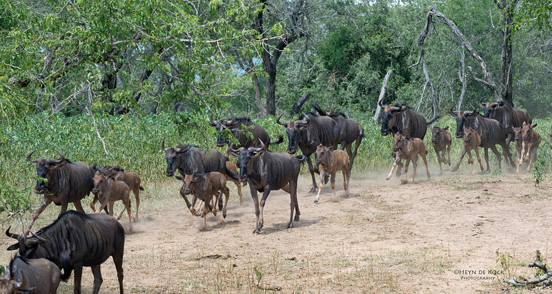 Blue Wildebeest, Mkuze GR, KZN, SA, Jan 2014-2.jpg
