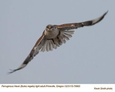 Ferruginous Hawk A79963.jpg