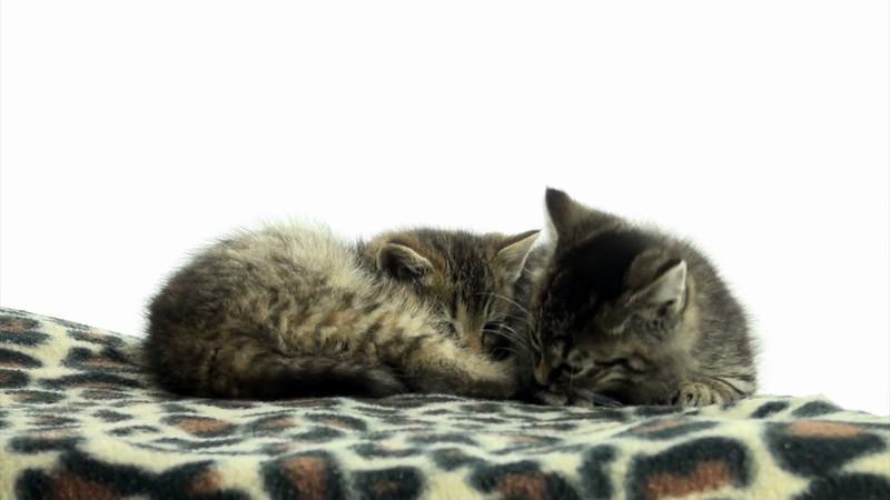 Kittens_tabby_014.mov