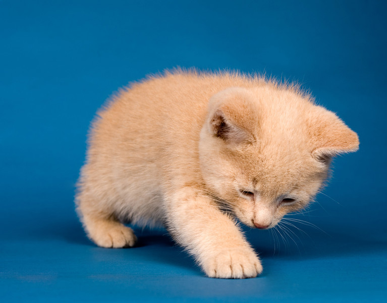 A yellow kitten playing on a blue bakcground