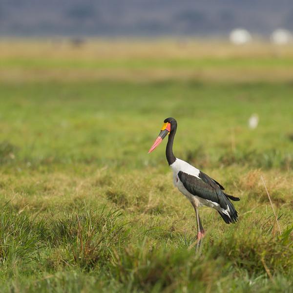 Saddle-billed Stork - Amboseli National Park, Kenya