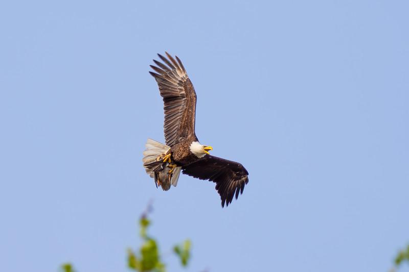 Eagle 3 Malard
