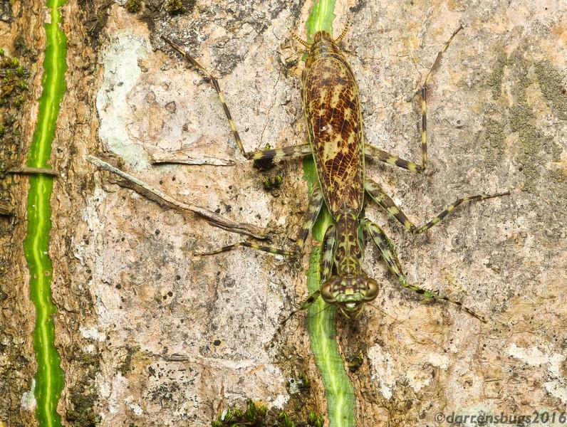 Adult female bark mantis (Liturgusa sp.) from Belize.