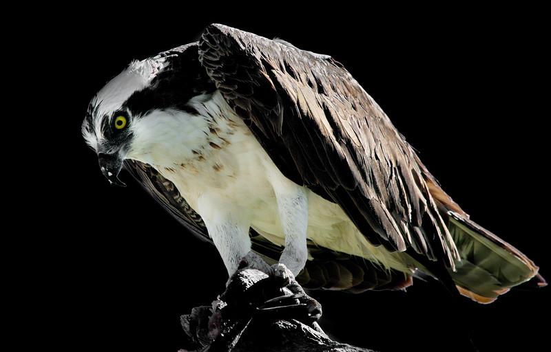 Everglades National Park, Florida, Osprey