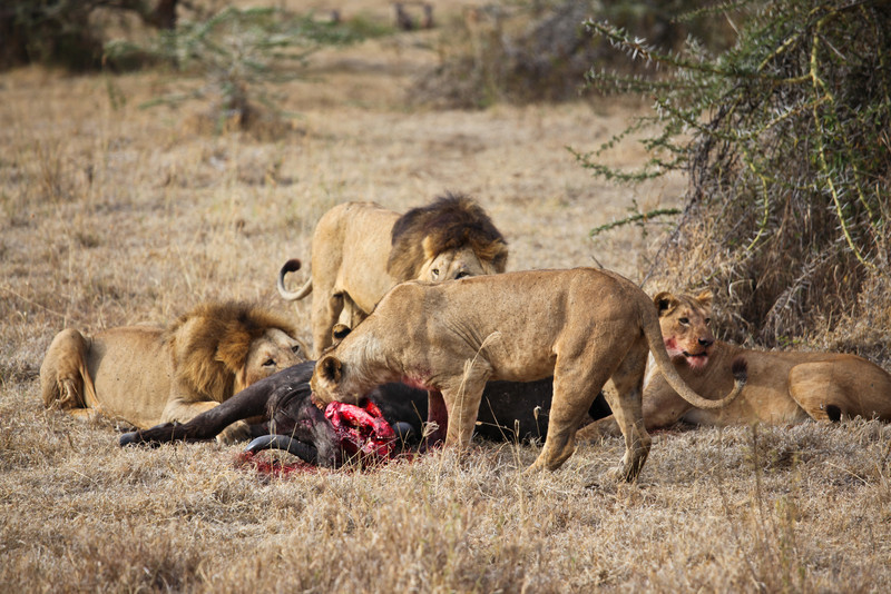 lens switch....check out the lion just devouring right in the wildebeest's neck