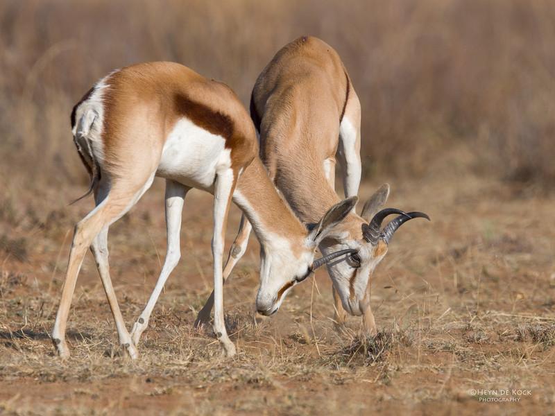 Springbok, Pilansberg, SA, Sept 2016.jpg