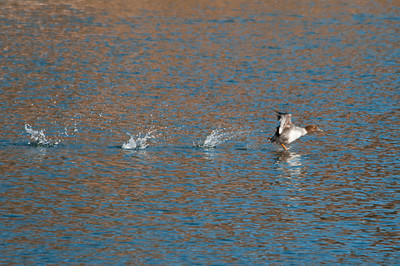Duck - Common Goldeneye