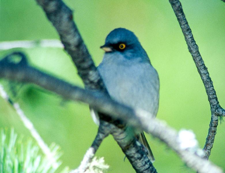 Yellow-eyed Junco Mt. Lemmon Tucson AZ SLIDE SCAN BIRDS-2.jpg