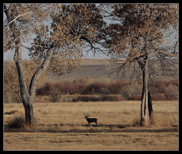 Mule Deer Stag, Bosque Del Apache, Socorro, New Mexico, November 2010