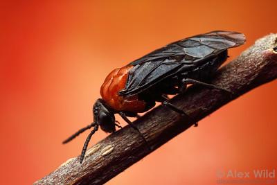 Black-headed Ash Sawfly - Tethida barda  Urbana, Illinois, USA