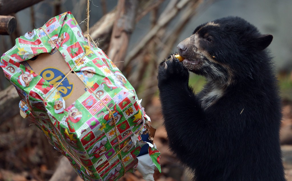 . An Andean bear feeds on a Christmas and birthday parcel filled with apples in its enclosure at the zoo in Frankfurt am Main, western Germany on December 25, 2014. The Andean bear twin brothers Tupa and Sonco were born on December 25, 2013. AFP PHOTO / DPA / ARNE DEDERT