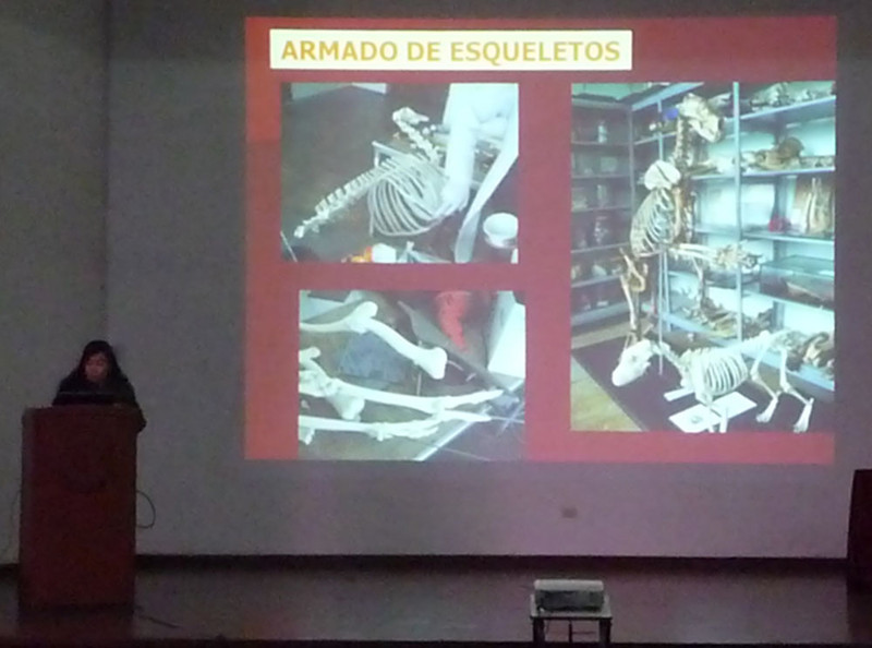Here anatomy instructor Dra. Miluska Navarrete Zamora from the Universidad Nacional Mayor de San Marcos vet school (hosting this conference) describes their anatomy museum. It is entirely filled with specimens that are ethically sourced (died naturally, in accidents, or been euthanized for medical reasons). No animals were killed for educational purposes. This is wonderful and incredible! It may be the only such collection worldwide.