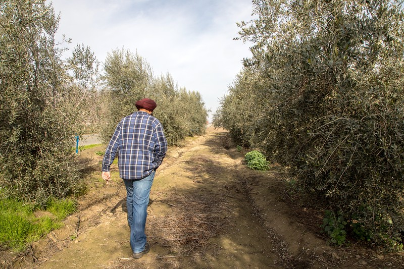 Dr. Boparai walks through his olive grove about three months after its second harvest. Trees that were not picked are tagged with blue flags.