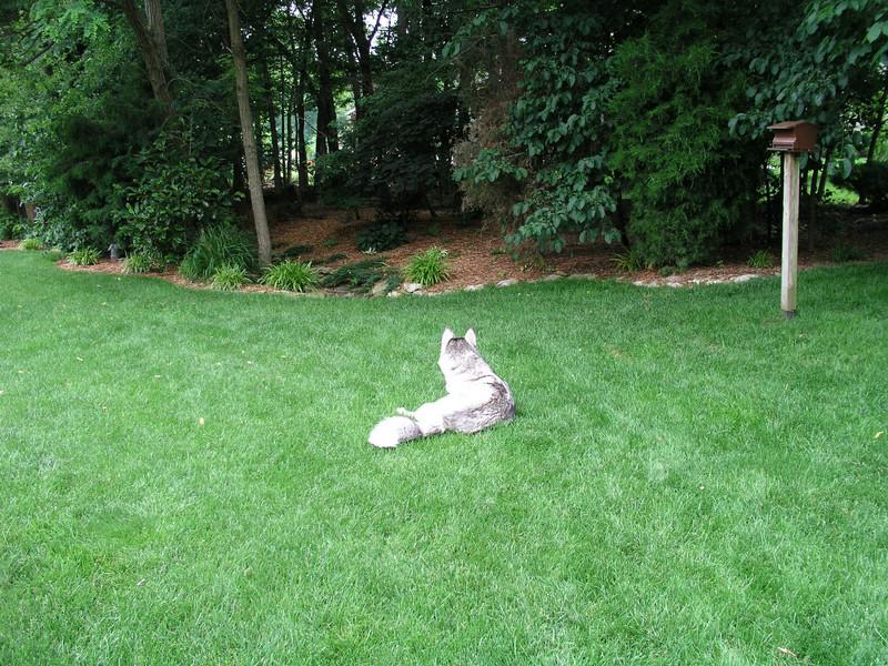 Blue enjoying his yard
