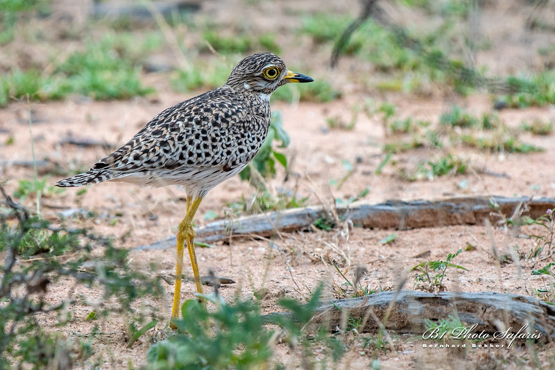 Spotted Thick-knee - Leeupan