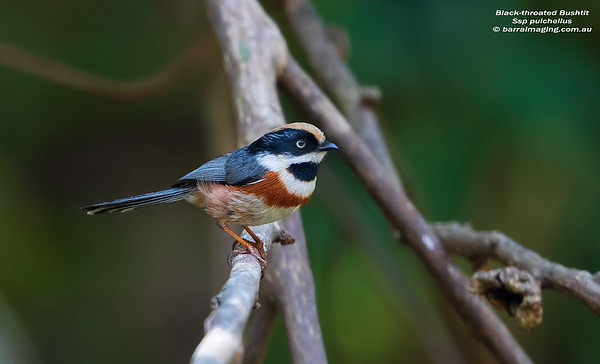 BushtitsFamily Aegithalidae