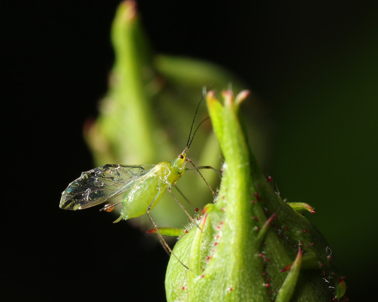 Insect macrophotography.  Aphids on the rose bush.