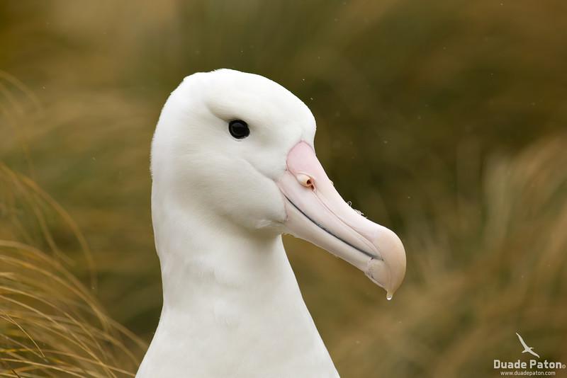 SouthernRoyalAlbatross-CampbellIsland,NZ-11-12-13.jpg